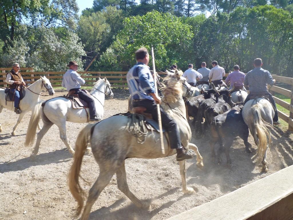 Journée en Camargue - Au cœur d'une manade